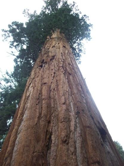 sequoia.3