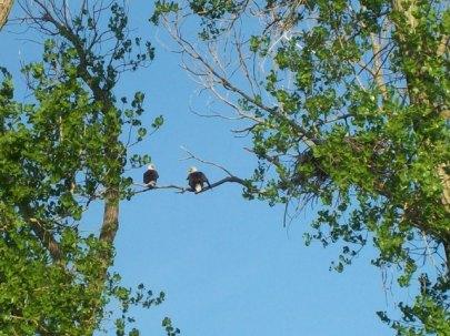 male and female bald eagle