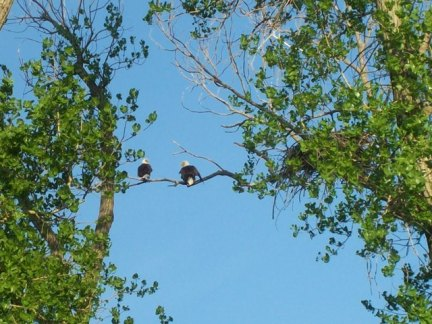 male and female bald eagle