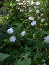 White Campion